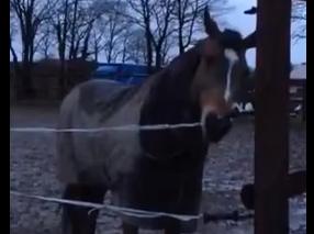 ロープ柵のロープを外す賢い馬