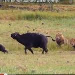 3頭の雄ライオンに狙われたバッファローの親子