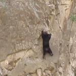 クマにこんな能力が!クマの絶壁ロッククライミング