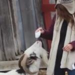 予期しないクシャミで女性を驚かせたヤギ