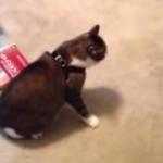 新しいハーネスがどうにも気に入らない猫
