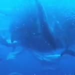 イワシの群れを容赦なく襲うサメの群れと海鳥