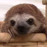 ナマケモノの鳴き声映像集