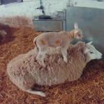 羊ライディング