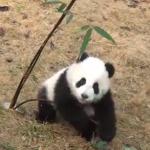 笹と格闘するパンダの赤ちゃん