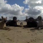 12匹の犬と1匹の猫がビーチでハッスル!