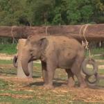 ゾウのタイヤ遊び