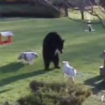 熊 vs. 犬 熊に立ち向かう2頭のブルドッグ