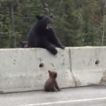 高速道路から出られない赤ちゃんを助ける母グマ