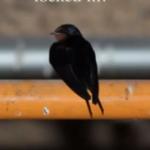 自動ドアを開ける技を身につけた鳥