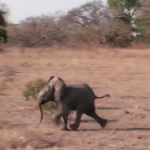 赤ちゃんゾウの猛ダッシュ、その行き先は…