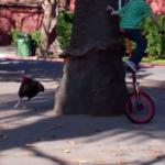 一輪車に乗る男の子を追いかける七面鳥