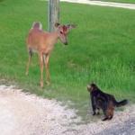 鹿 vs. 猫 にらみ合いで猫の気迫に及び腰な鹿