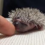 指を舐めるハリネズミの赤ちゃん
