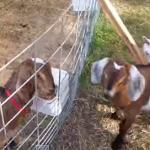 仲間と合流できなくて絶望的な叫び声を上げるヤギ