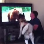 テレビの熊に襲いかかろうとする秋田犬