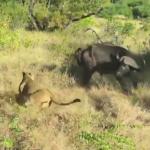ライオン vs. バッファロー 双方命がけの戦い