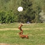風船で遊ぶ2匹のダックスフンド