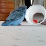 青い鳥 vs. コップ