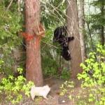 熊を追い払った小型犬