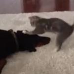 ドーベルマンにアタックする子猫