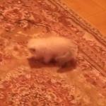絨毯の柄に反応してジャンプする子猫