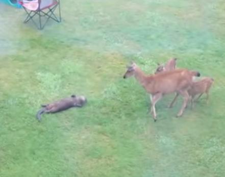 鹿ファミリーと交流を図ろうと一生懸命なカワウソ