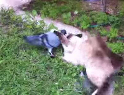 喧嘩?遊び? ハト vs. 猫