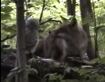 キツネ vs. フクロウ