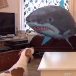 鮫バルーンと戦うビーグル犬