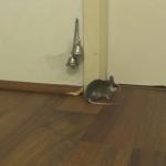 ドアを開けてもらうために人を召喚するネズミ