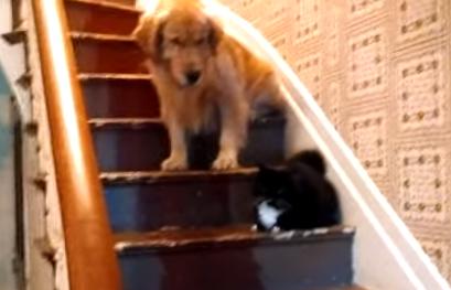猫様がどいてくれないので階段を降りられないワンコ