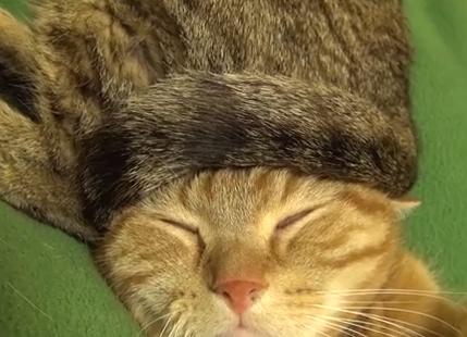 猫の毛100%の尻尾帽子をかぶる猫