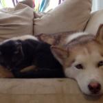 ハスキーベッドで眠る猫
