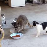 猫のまんまを強奪するアライグマ
