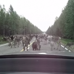 フィンランドの日常?トナカイの大渋滞