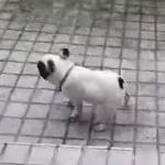 大雨に興奮するフレンチブルドッグ