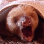 ナマケモノの赤ちゃんの大きなあくび
