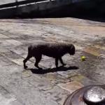 一人でもボール遊びできるワンコ
