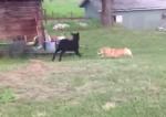 コーギーと子羊の追いかけっこ