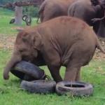 タイヤで遊ぶゾウの赤ちゃん