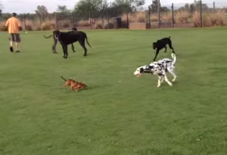 大型犬を翻弄するフットワークの軽い小型犬