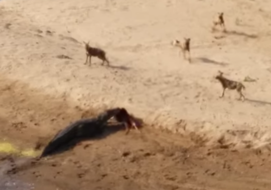 巨大なワニに獲物を奪われるリカオンの群れ
