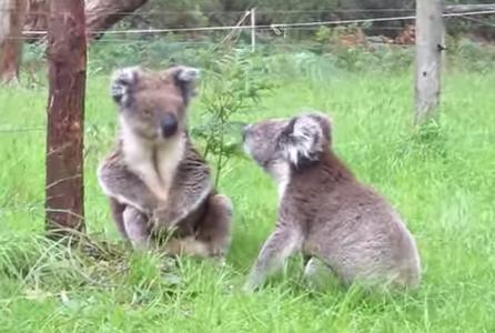 喧嘩するコアラの不思議な鳴き声