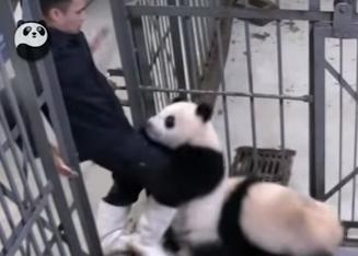 飼育員の足にしがみつくパンダの子供