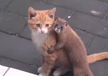 イタチと子猫が仲良く喧嘩?している映像