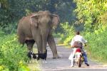 バイク乗りが路上でゾウと遭遇、ヤギの群れも恐怖で固まる