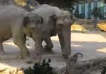転倒した象の赤ちゃんを大人の象がスピードレスキュー