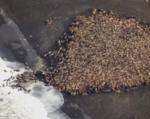 35,000頭のセイウチ、気候変動で異常集合