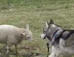 ハスキー犬に頭突き攻撃を繰り返す羊